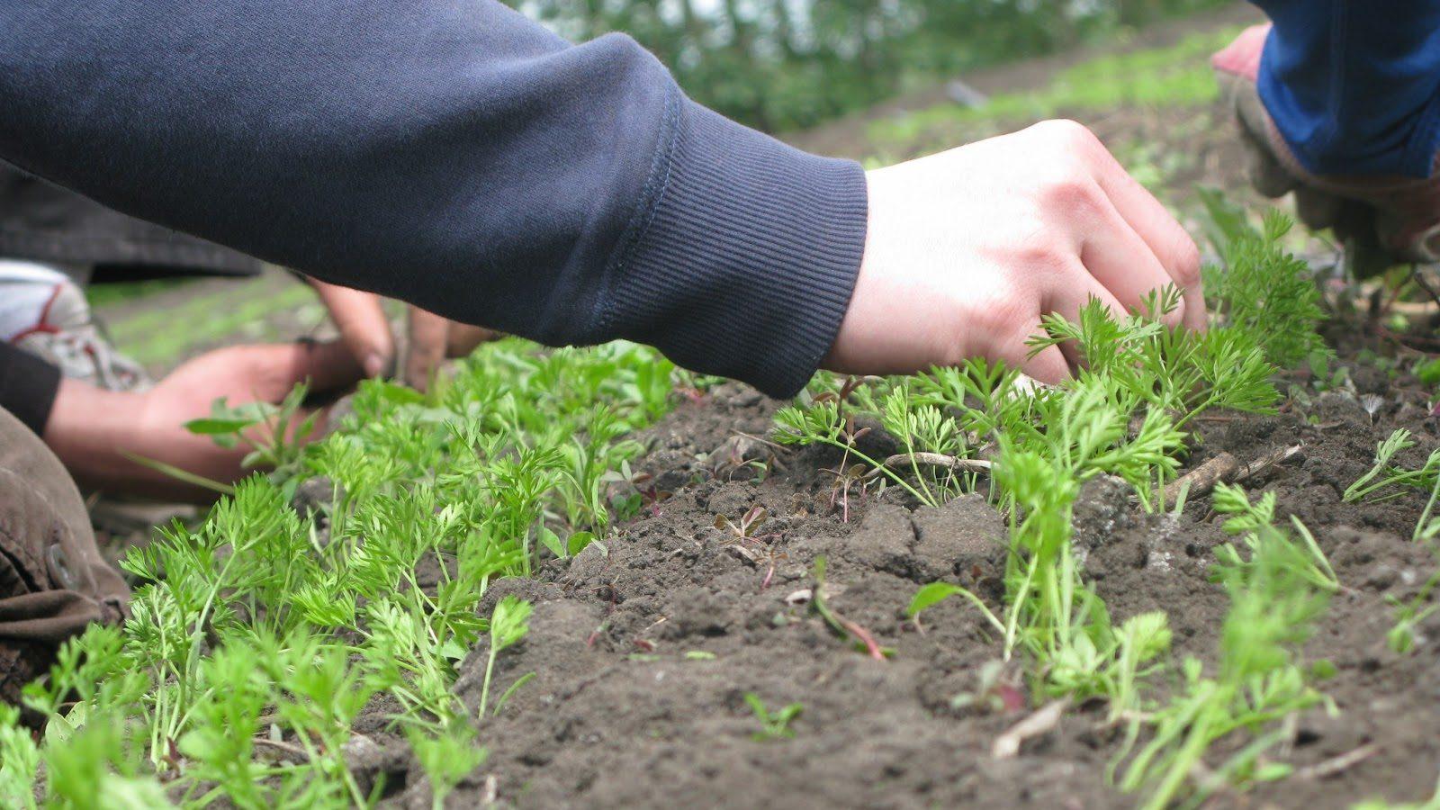 выращивание моркови подкормки