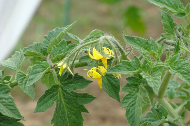 Цветы помидора
