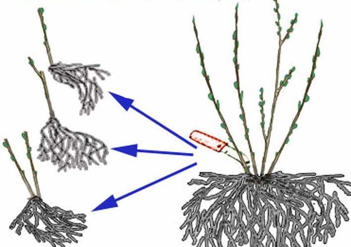 Размножение крыжовника: способы