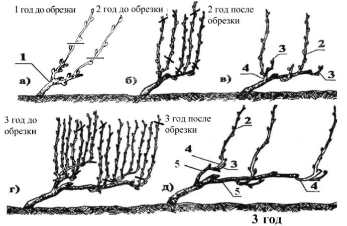 Как формировать виноград: пошаговая инструкция