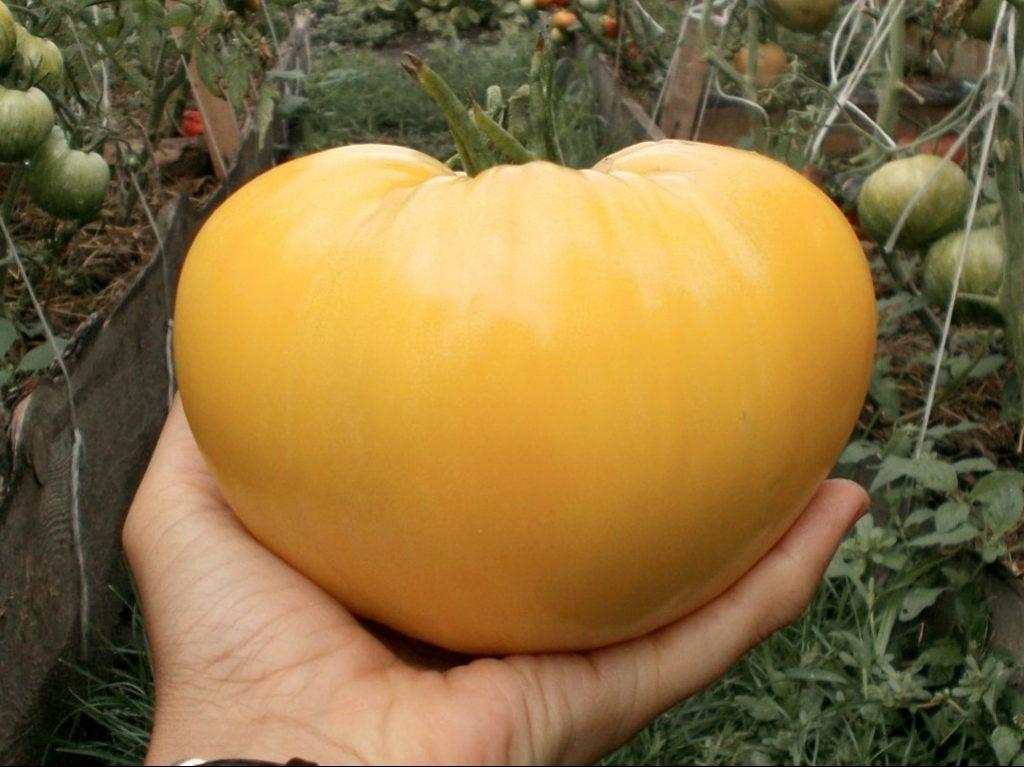 Белые сорта томатов: характеристики