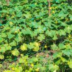 листья огурцов желтеют и сохнут