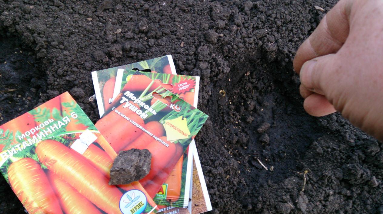 выращивание моркови на даче