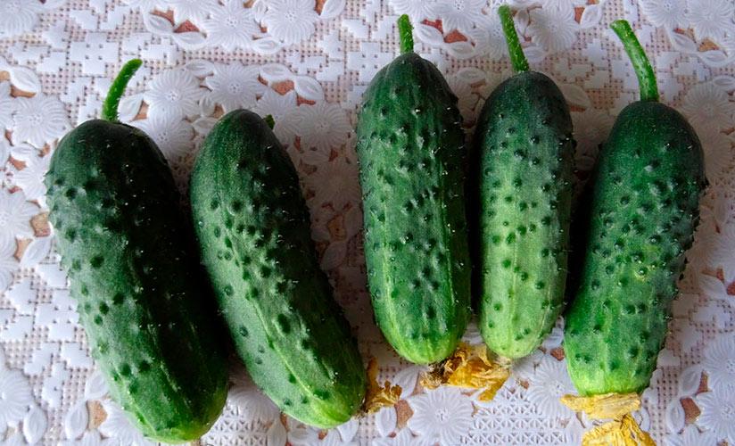 Как вырастить суперпучковые огурцы: сорта для открытого грунта
