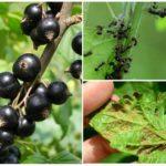 муравьи на смородине
