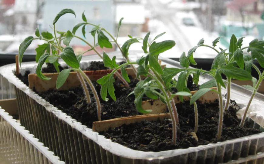 Пикировка рассады томатов в домашних условиях