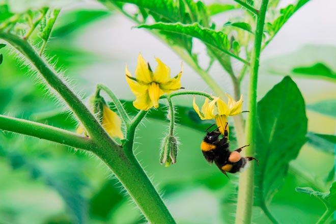 Пчела на цветке томатов