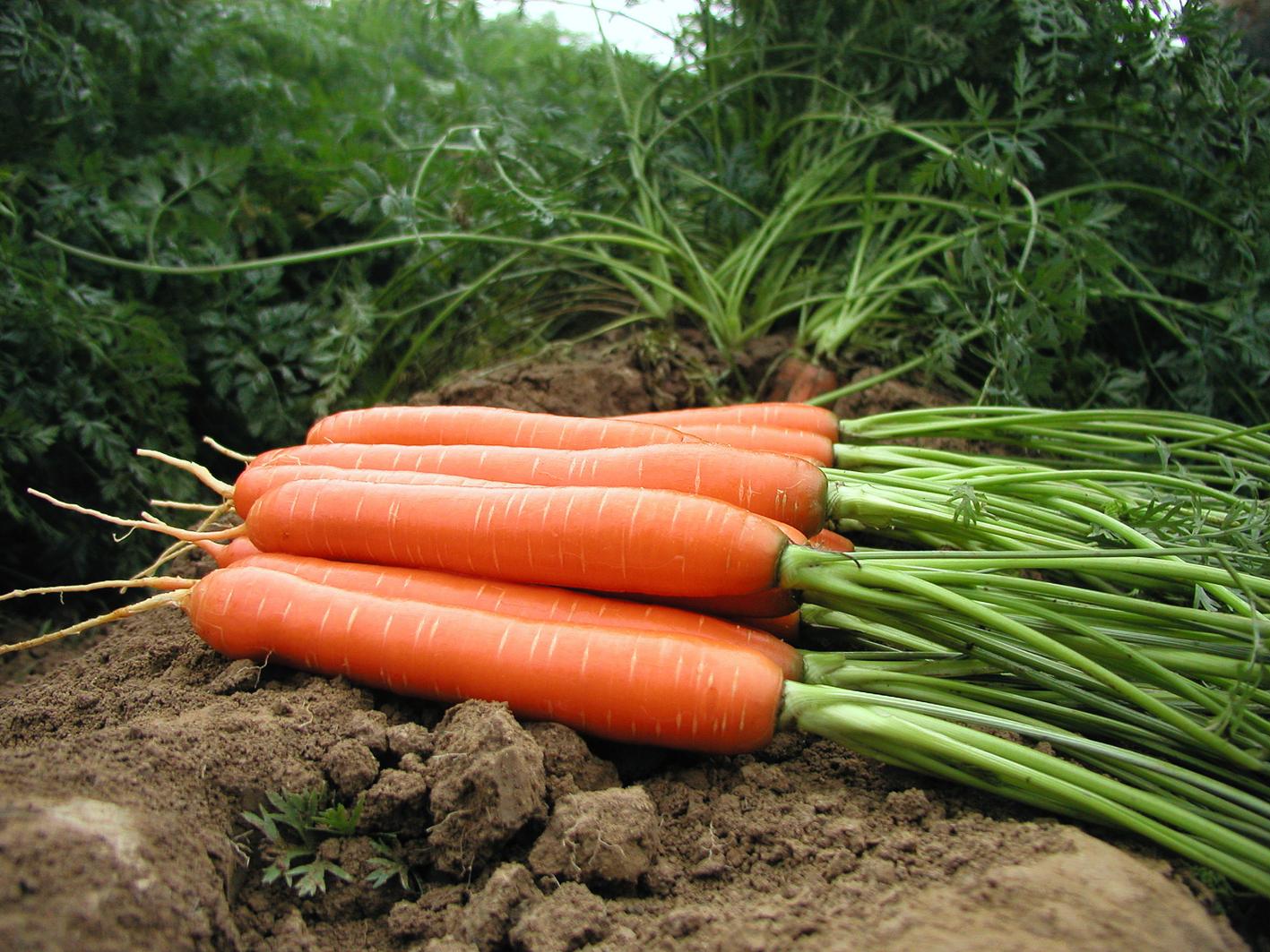 огород морковь выращивание