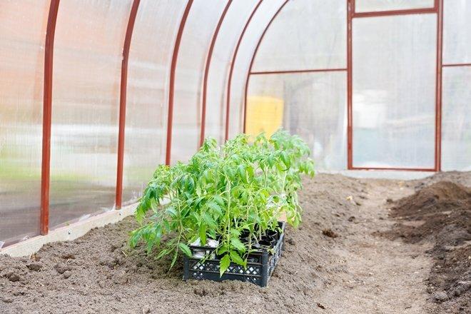 Ящик рассады томатов