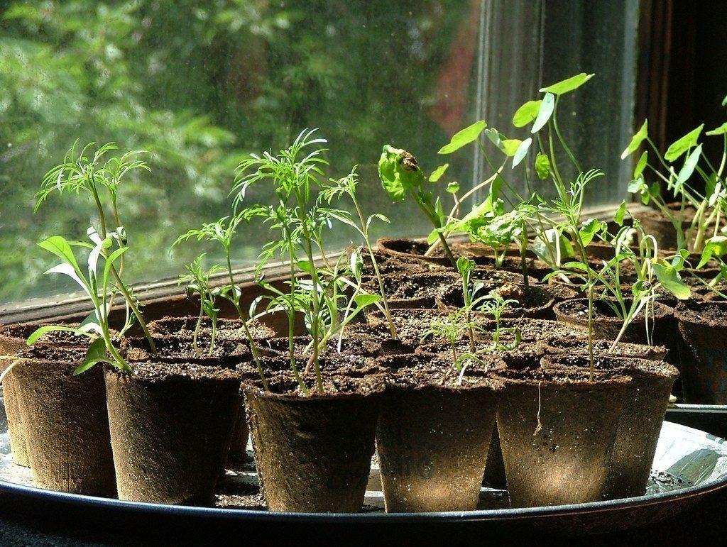 Рассада томатов: посадка, подкормка удобрениями