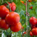 как формировать низкорослые томаты