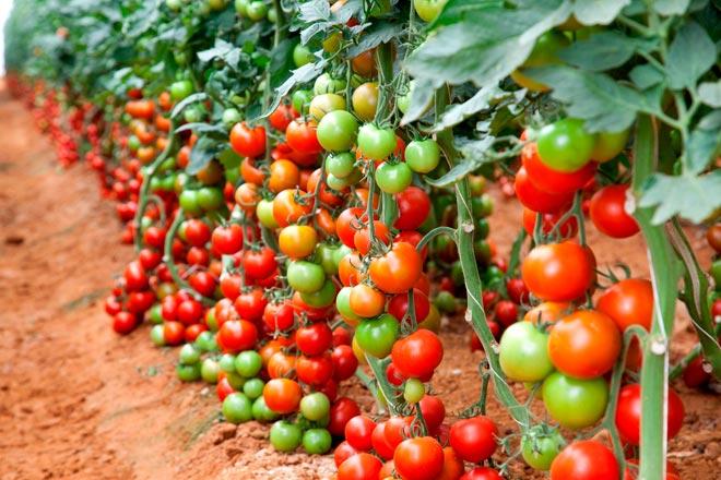 Высокие томаты