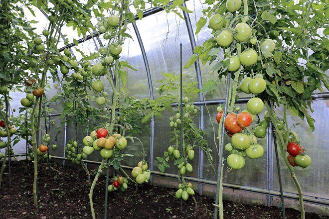 Высокие помидоры