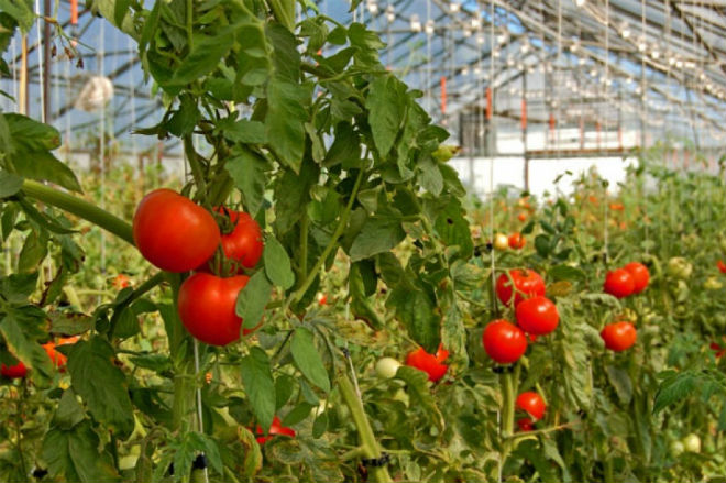 Спелые томаты на ветках