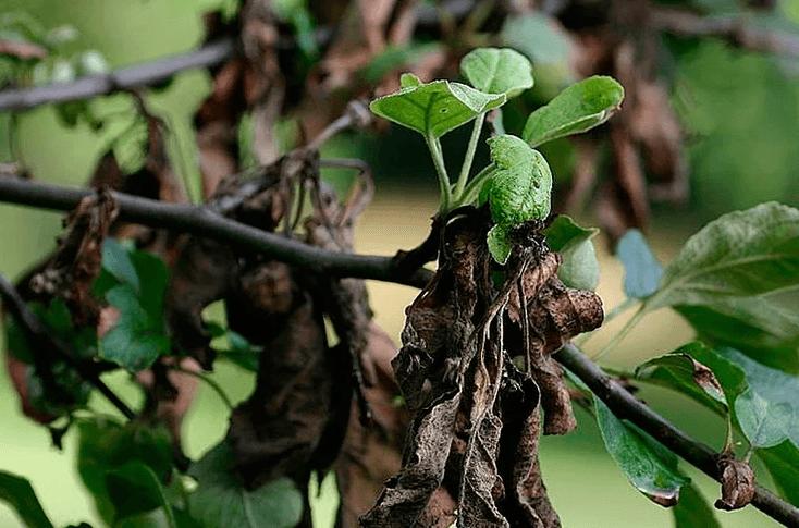 Почему сохнут листья яблони
