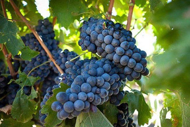 Почему плохо растет виноград