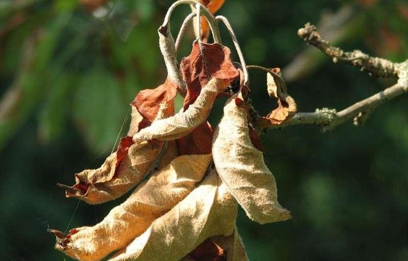 Листья яблони сохнут
