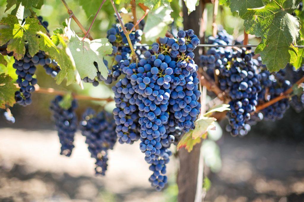 Почему осыпаются кисти винограда