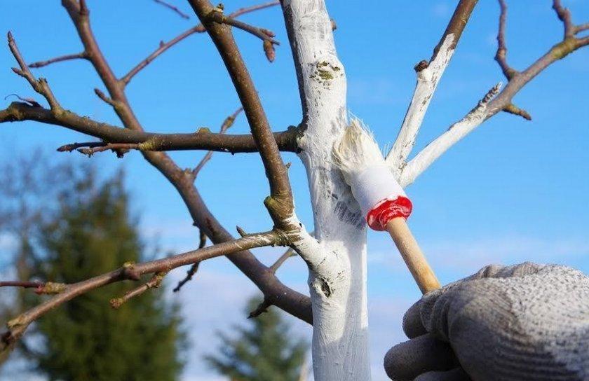 Погодные условия не плодоносит черешня