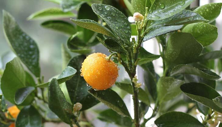 Почему у мандарина желтеют листья