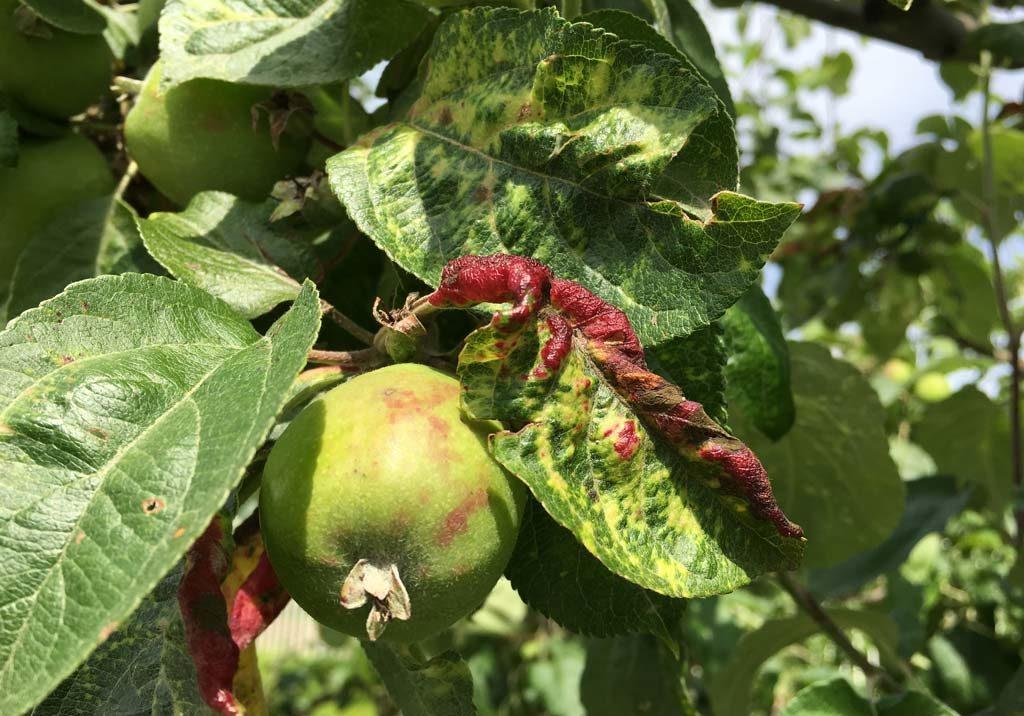Почему краснеют листья у яблони
