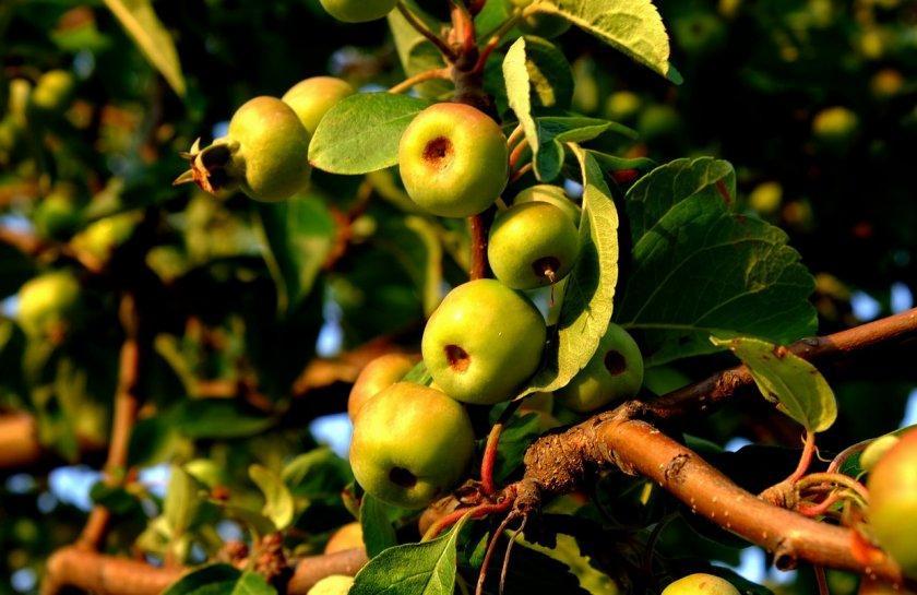 Почему на яблоне мелкие яблоки