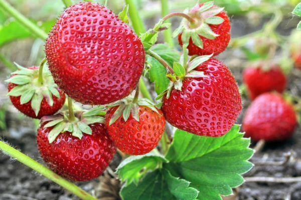 Садовая земляника: описание и выращивание в саду