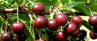 вишня тамарис