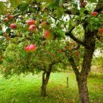 плодоношение яблони