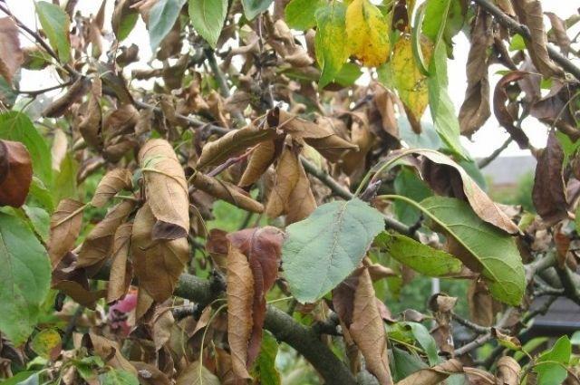 листья груши сохнут