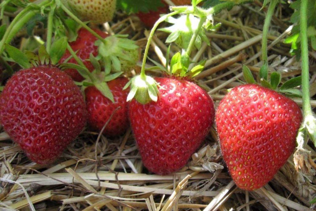 Сорта клубники для выращивания в теплице
