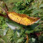 обработка вишни от вредителей и болезней