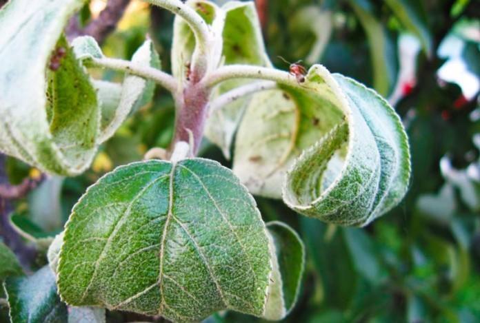 Почему скручиваются листья груши