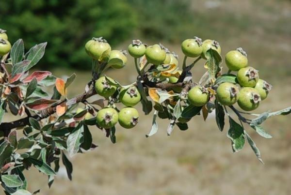 Почему на груше мелкие плоды