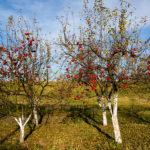 расстояние при посадке яблони