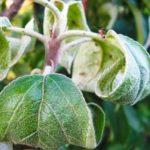 скручиваются листья груши