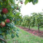 карликовый подвой яблони