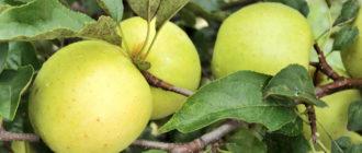яблоня Голден