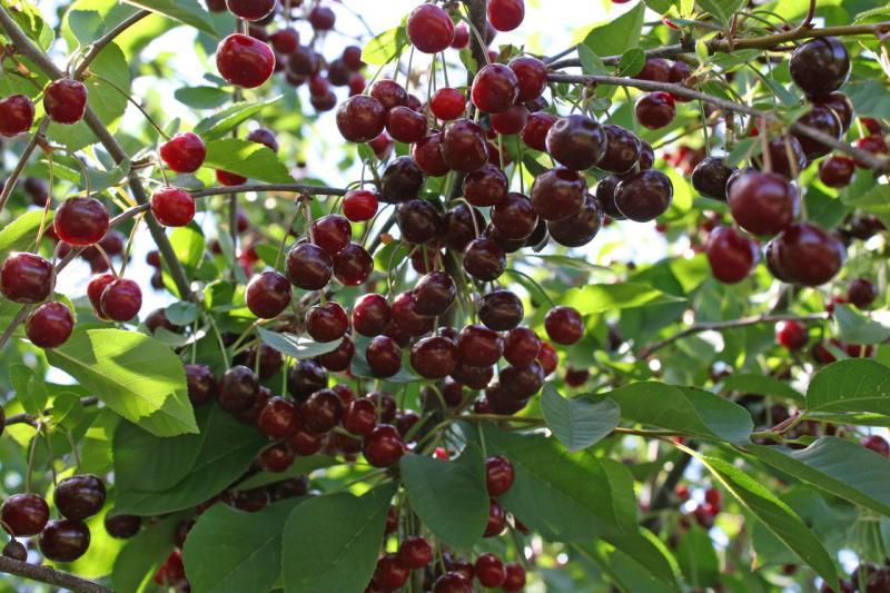 Сорт вишни Новелла