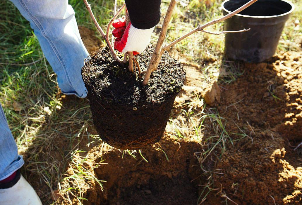 посадки яблони арбат
