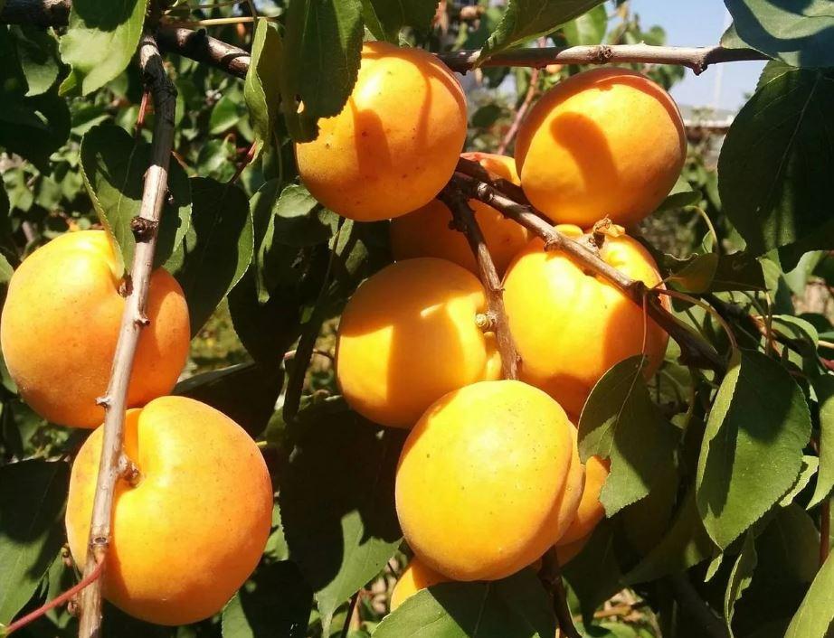 Фото золотого абрикоса