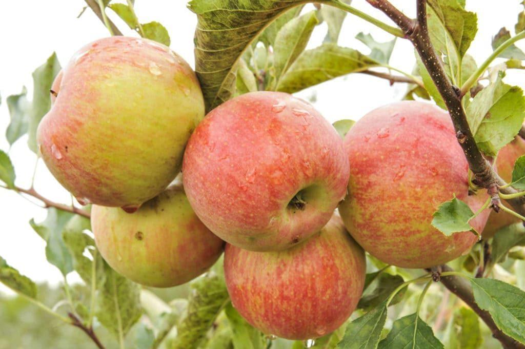 физиологии штрифель сорт яблок фото совершенно понравилась