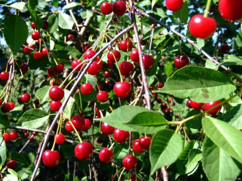 Сорт вишни Максимовская