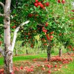 лечебные свойства яблони