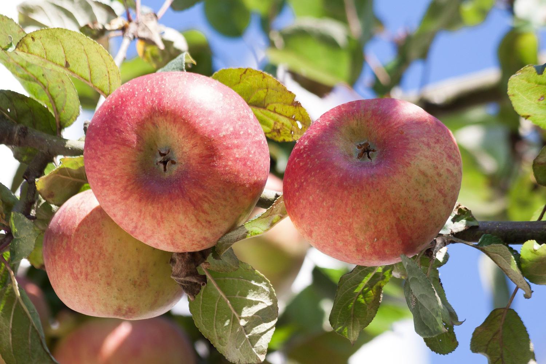 встретить такие яблоня конфетное описание фото отзывы посадка того, непосредственной