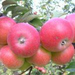яблоня Елена