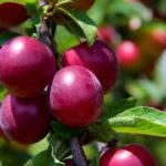 сливово вишневый гибрид