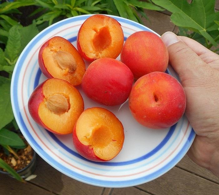 Гибрид персика, сливы и абрикоса