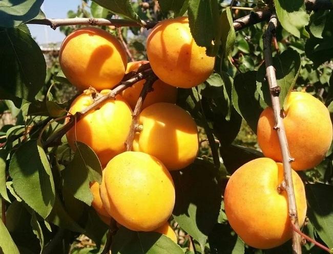 Лучшие сорта абрикоса для Урала
