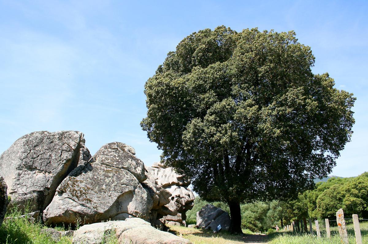 Дуб каменный